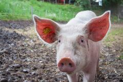 White Pig Royalty Free Stock Photo