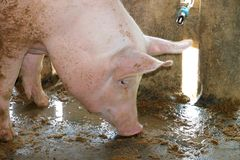 White pig in cool wet stable Royalty Free Stock Image