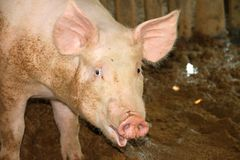 White pig in cool wet stable Royalty Free Stock Photography