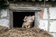 White pig. Looks out the window. Pile of manure. Stock Photos