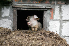 White pig. Looks out the window. Pile of manure. Stock Photo