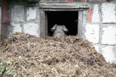 White pig. Looks out the window. Pile of manure. Royalty Free Stock Photography