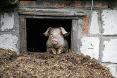 White pig. Looks out the window. Pile of manure. Royalty Free Stock Photo