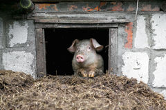 White pig. Looks out the window. Pile of manure. Royalty Free Stock Images