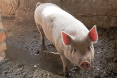White Pig in Muddy Pen with Backlit Pink Ears Stock Images