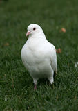 White pigeon. On a green grass Stock Image