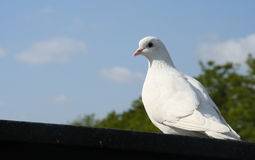 White pigeon. A white pigeon against blue sky background stock images