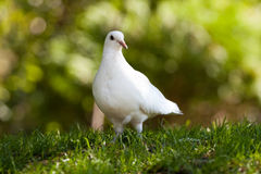 White pigeon. On green grass royalty free stock photos