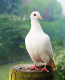 White pigeon. A white pigeon close up Royalty Free Stock Photography