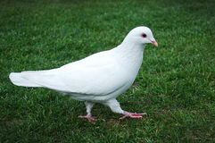 White pigeon. A white pigeon walking on green grass Stock Photography