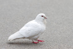 White pigeon Royalty Free Stock Photography