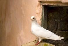 Free White Pigeon Stock Photo - 25198900