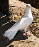White Pigeon stock photography