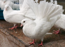 The white pigeon. The decorative white pigeon with red paws Royalty Free Stock Photography