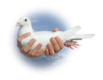 White pigeon. In hands of the girl against vault of heaven Stock Photography