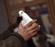 White pigeon. The image of the white pigeon in hands the man Stock Image