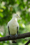 White Pigeon. Royalty Free Stock Photography