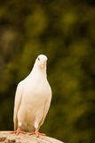White pigeon, bird of peace Stock Photography