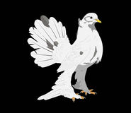 White pigeon on black background. Picture of beautiful white dove on a black background. (Male Royalty Free Stock Images
