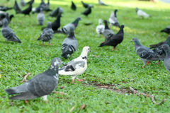 White pigeon in black pigeons. Royalty Free Stock Photos