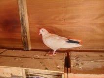 White pigeon Royalty Free Stock Photos