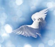 White pigeon Stock Photo