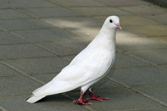 White pigeon. On city street Stock Images