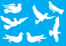 White pigeon collection Royalty Free Stock Photography