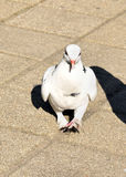 The white pigeon Royalty Free Stock Photography