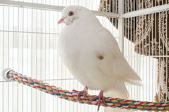 White pigeon or dove. Domesticated white pigeon or dove on perch in white cage Stock Images
