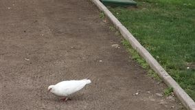 White Pigeon stock video footage