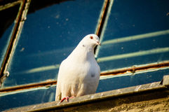 White pigeon on the edge Stock Photography