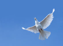 White pigeon in flight stock image