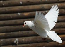White pigeon Stock Image