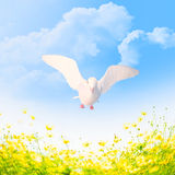 White pigeon. Stock Images