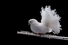 White pigeon on flute. Isolated in black background Royalty Free Stock Photography