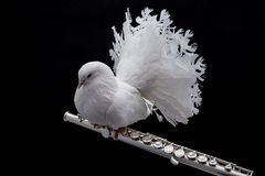 White pigeon on flute. Isolated in black background Stock Photo