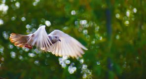 A white pigeon is flying in a fearless way. its creating a beautiful background of pace stock photography