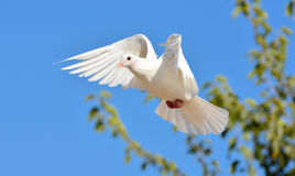 White pigeon flying with open wings Stock Photos