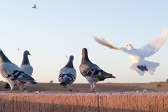 White pigeon flying and some ferral pigeons. Stock Image