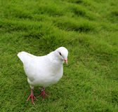 White pigeon Royalty Free Stock Photo