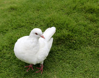 White pigeon Royalty Free Stock Image