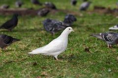 White Pigeon on grass Stock Photo