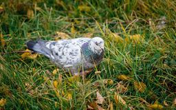 A white pigeon on the grass in a city park surrounded by yellow. Autumn leaves stock photography