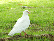 White pigeon on the grass in park. White pigeon on the grass Stock Photos