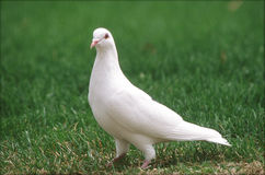 White Pigeon On Green Grass Royalty Free Stock Images