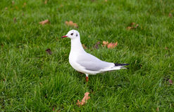 White pigeon on a green meadow Stock Images
