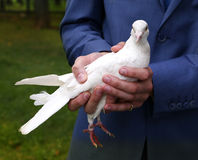 White pigeon in grooms hands Stock Images
