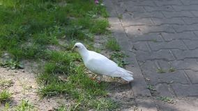 White pigeon on the ground stock video footage