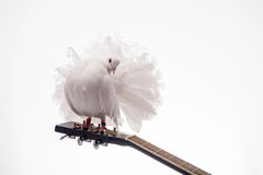 White pigeon on guitar. Isolated in white background Stock Photography